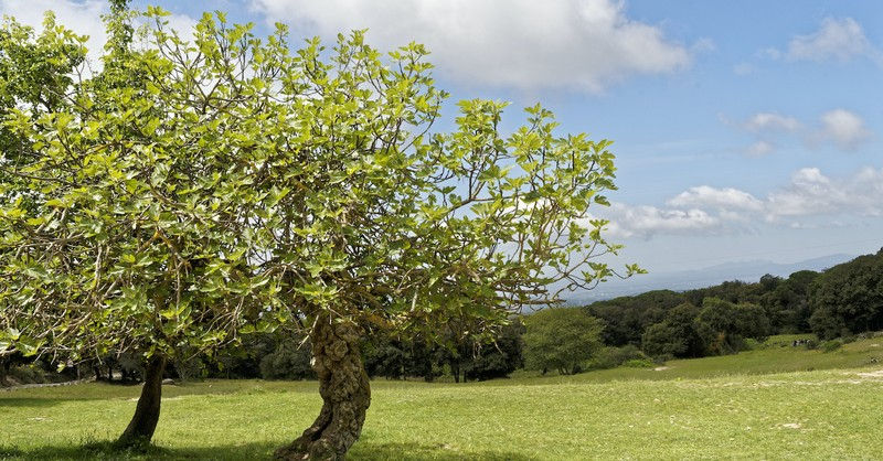 fig tree sitting in a field, what does the parable of the fig tree mean