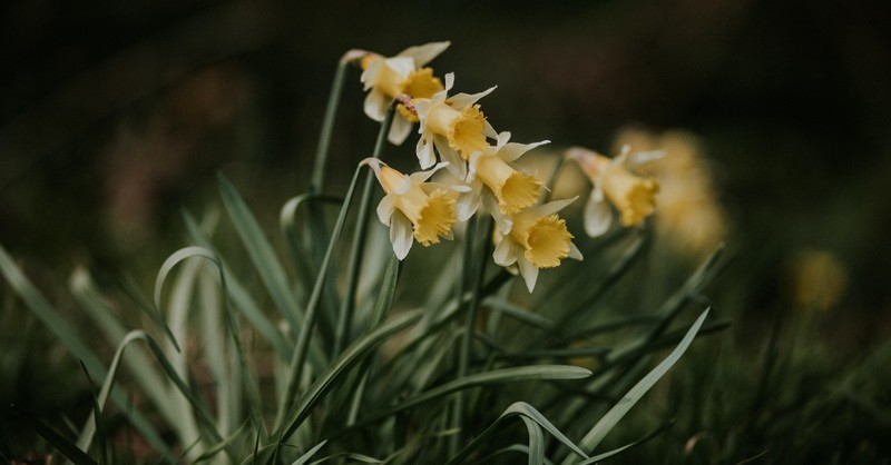 bunch of daffodil flowers, prayers prepare heart for easter eve