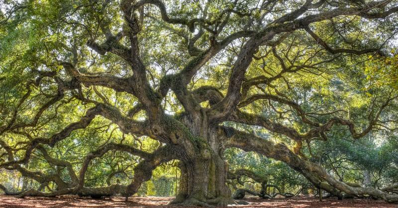 large oak from South Carolina, oaks of righteousness