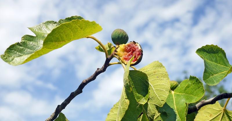 Fig tree against blue sky, forbidden fruit