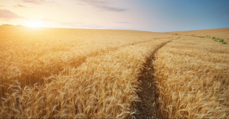 Wheat field with paths going through it