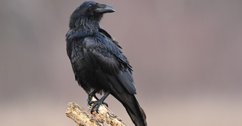 A raven sitting on a piece of wood, Elijah fed by ravens