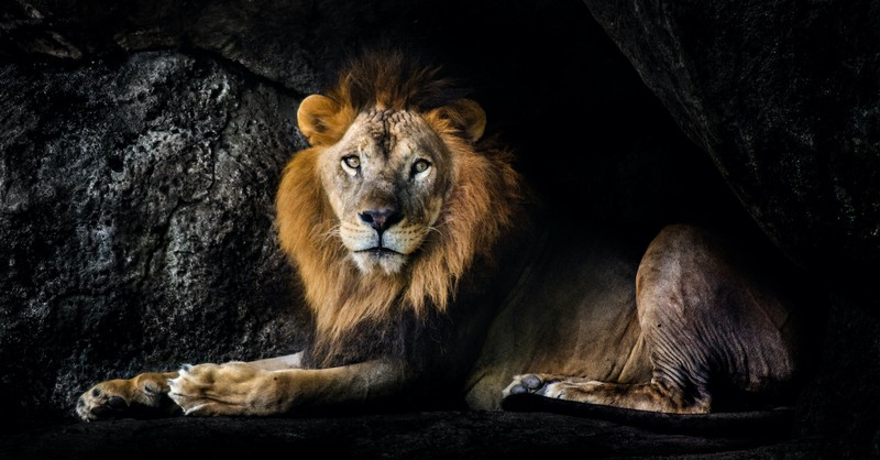 lion laying on ground in darkened den, daniel and the lions den
