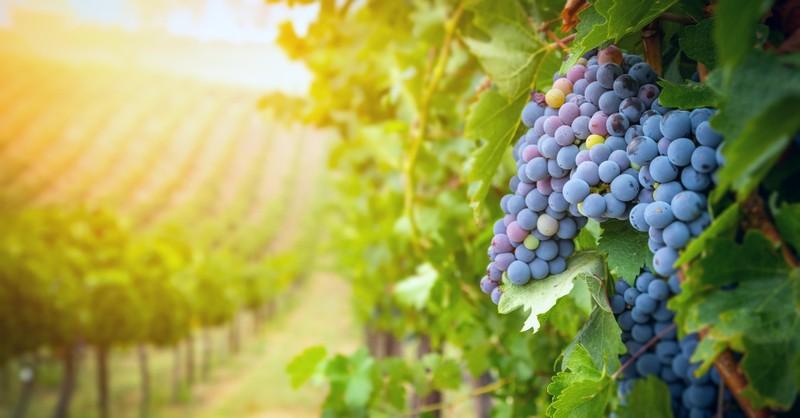 Grape fruit vine