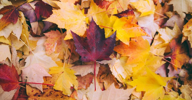 Close-up shot of colorful Fall leaves