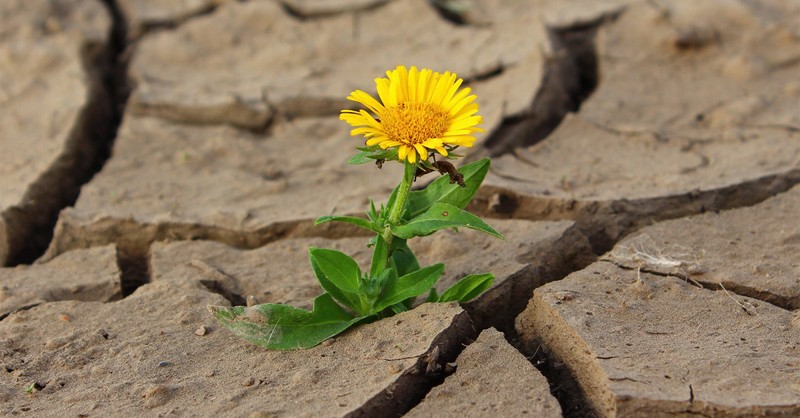 dandelion growing up through crack in parched earth