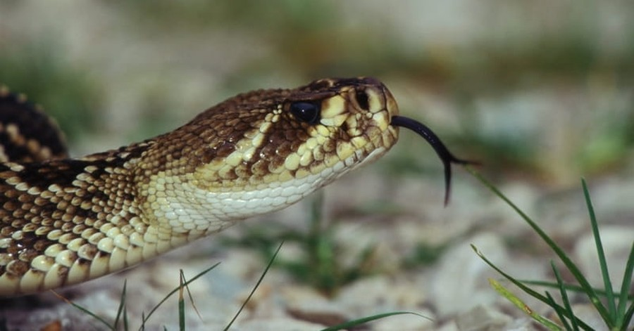 Pentecostal Snake Handler Dies after Being Bitten in Church