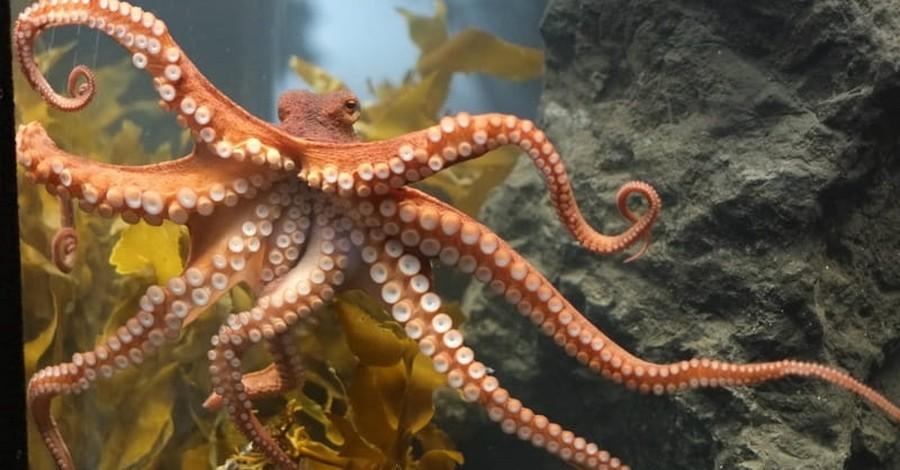 Darwinism Versus the Octopus: An Evolutionary Dilemma