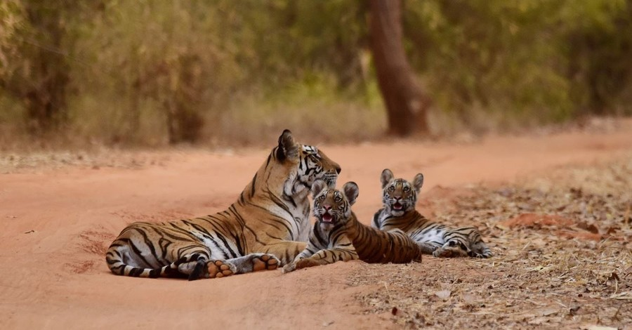 Of Tigers and Talents: Why Conservation Success Belong in a Christian Worldview