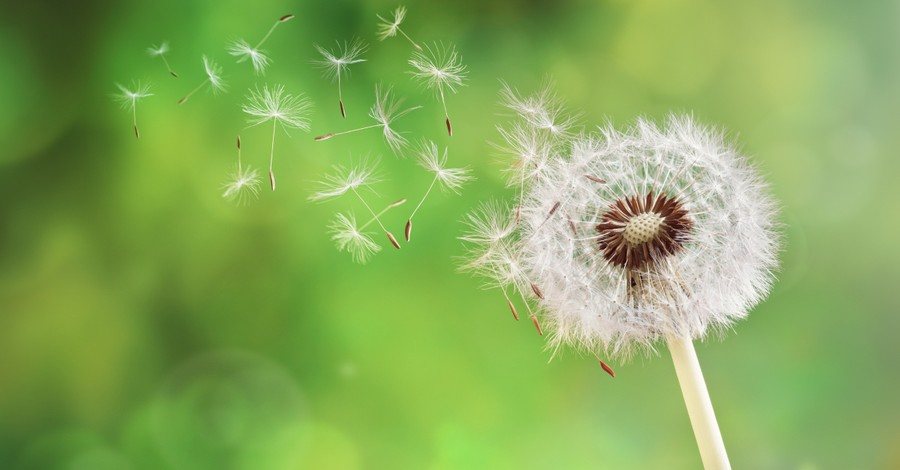 dandelion losing seeds to wind to symbolize members leaving church