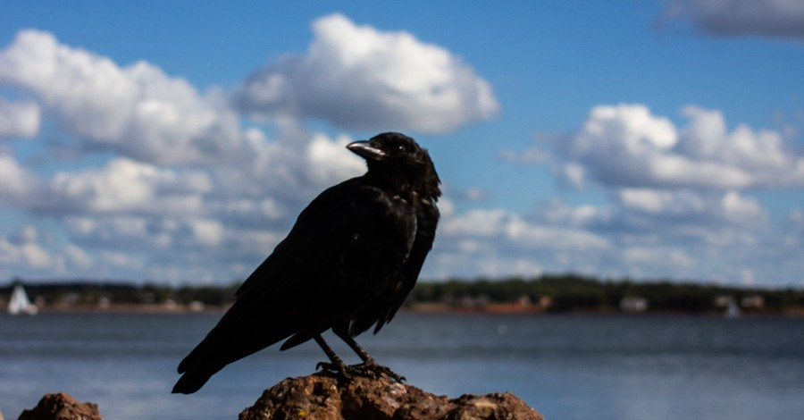 A crow on a rock, why the idea of human exceptionalism ruffles feathers