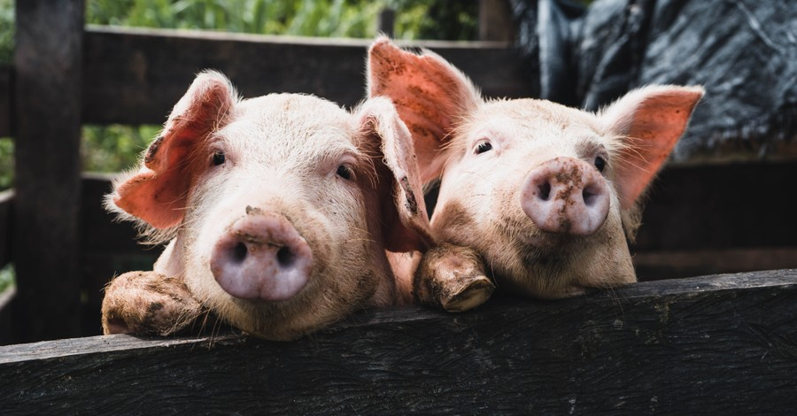 Pigs in a pen, genetic experimentation on animals and humans