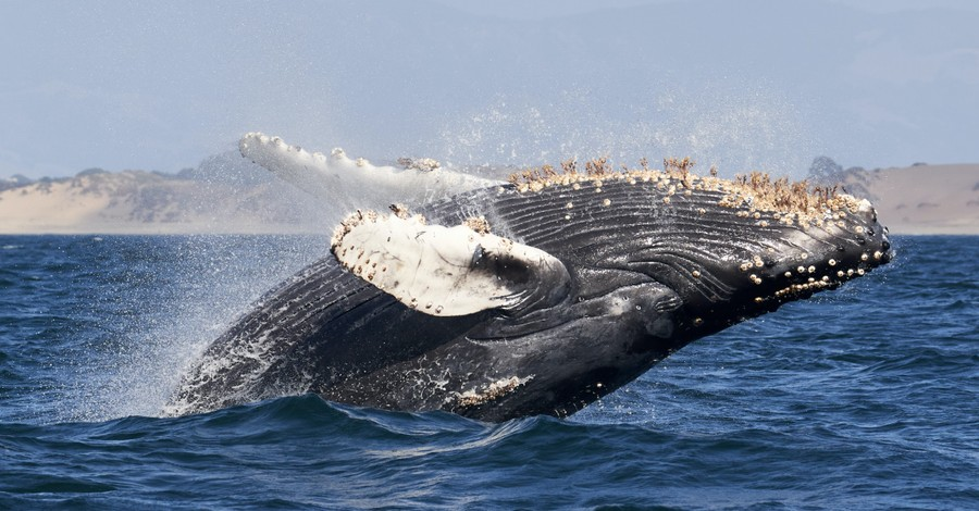 A humpback whale, a man is swallowed by a humpback whale