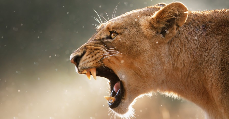 A lioness, a new pith-based nature documentary aims to celebrate God's creation
